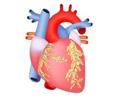 Herzstoffwechsel